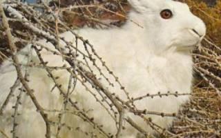 Как поймать кролика в огороде