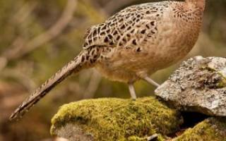 Как выглядит самка фазана
