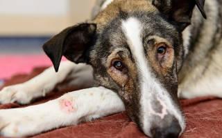 Абсцесс после укола у собаки