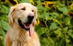 Успокоительные средства для собак, которые кидаются