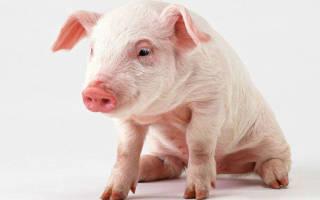 Запор у свиней: как бороться