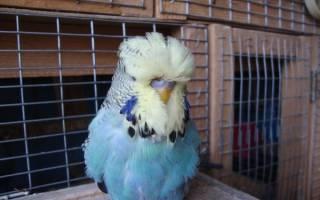 Как проходят выставки волнистых попугаев