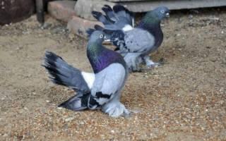 Бескружные голуби: отличительные особенности