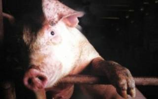 Рожа свиней: лечение