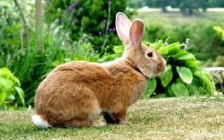 Бельгийский кролик: описание породы