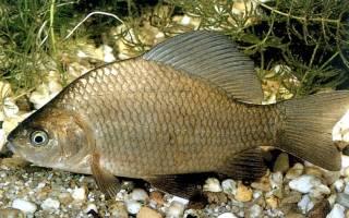 Возможно ли разведение рыбы в домашних условиях