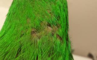Выясняем, почему у попугая выпали перья на голове