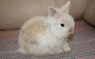 Японский кролик: как выглядит японский карликовый кролик