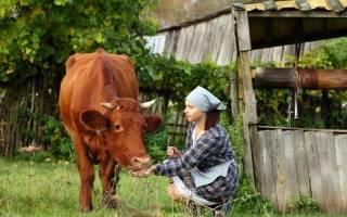 Сколько живут коровы: продолжительность жизни