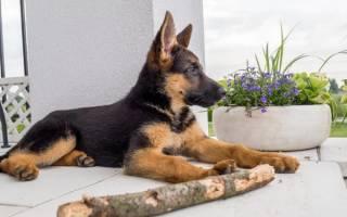 Когда у щенков встают уши
