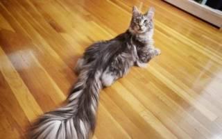 Для чего коту хвост