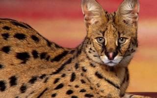 Сервал – одомашненный дикий кот