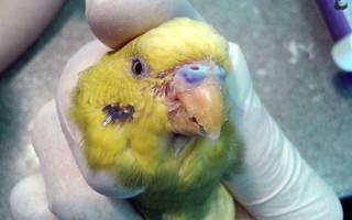 Нарост на клюве у волнистого попугая: чем это может быть вызвано