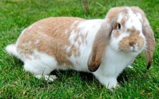 Кролики бараны: разведение, особенности