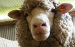 Мясные овцы: породы овец мясного направления