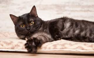 Азиатская дымчатая кошка: кто она