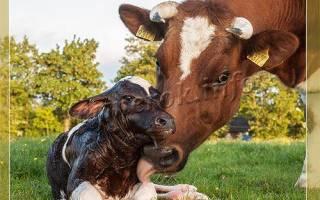 Как раздоить корову после отела