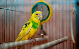 Как лечить очинного клеща у волнистого попугая