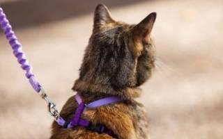 Шлейка для кота: приучаем носить