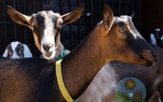 Альпийская порода коз: основные отличия