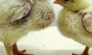 Цыплята бройлеры: болезни и лечение