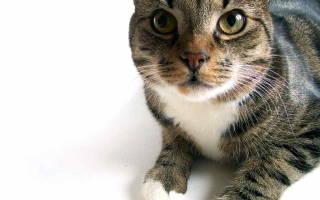 Поставили диагноз пиелонефрит у котов