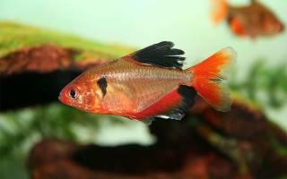 Всё о карпообразных рыбках: как содержать карпообразных рыб