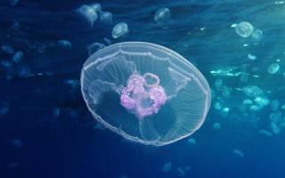 Что едят медузы