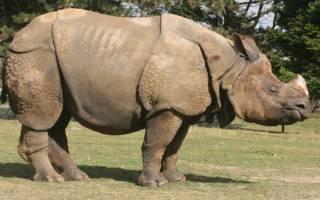Виды носорогов