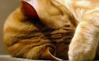 К чему кошка прячет нос