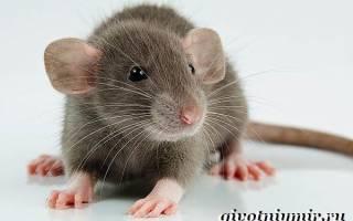 Крысы породы дамбо