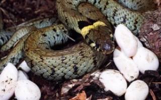 Как змеи откладывают яйца