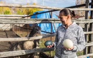 Разведение страусов в домашних условиях в Сибири