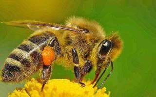 Где живут дикие пчелы