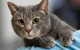 Как давать Ветом для кошек