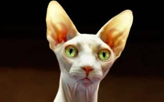 Кошка сфинкс: как ухаживать