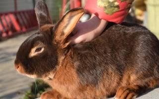 Новозеландский красный кролик: особенности породы