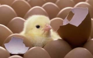 Инкубация цыплят в домашних условиях: подводные камни