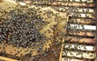Как избавиться от диких пчел: действенные методы