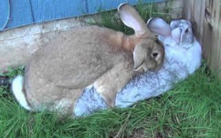 В каком возрасте случать кроликов: возраст спаривания