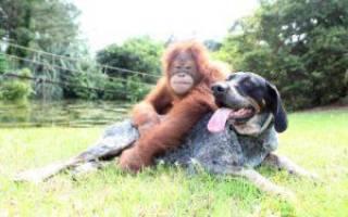 Шимпанзе и собака