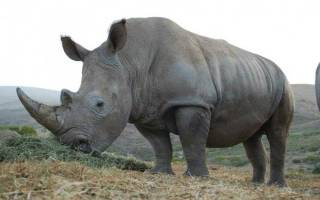 Чем питается носорог