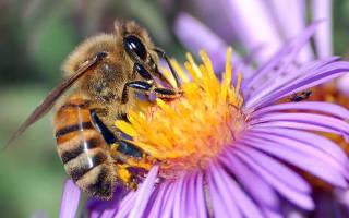 Интересное о пчелах: краинские пчелы
