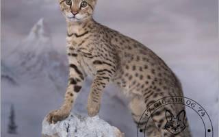 Известные питомники кошек ашера