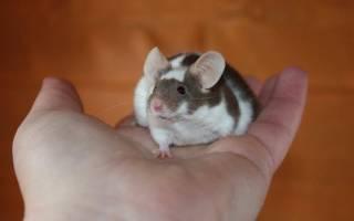 Домашние мыши