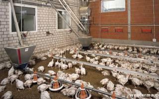 Кокцидиоз у цыплят: признаки, лечение
