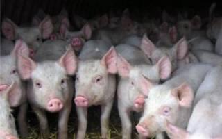 Падеж свиней: причины и нормы