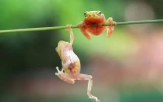 Самая интересная лягушка в мире: зоорейтинг