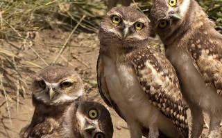 Чем питаются домашние совы: подбираем корм