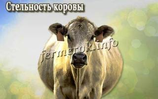 Стельность коровы: период стельности коров